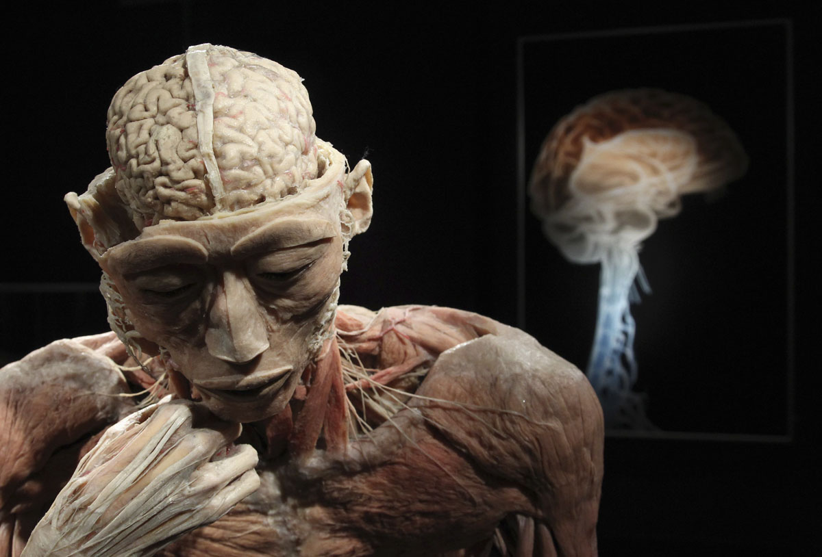 "June 15, 2012: A plastinated human body exhibit is seen during a media viewing for the exhibition ""The Human Body"" in Ostend. The exhibition which runs from June 16 to September 9 showcases dissected real human body specimens that are preserved through an innovative process and respectfully presented, giving visitors the opportunity to view the beauty and complexity of their own organs and systems. (Francois Lenoir/Reuters)"