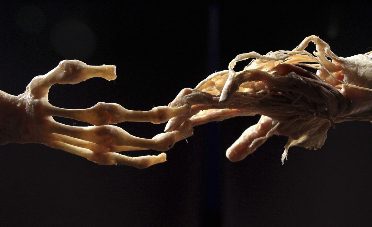 plastinazione Gunther von Hagens anatomia mani scheletro