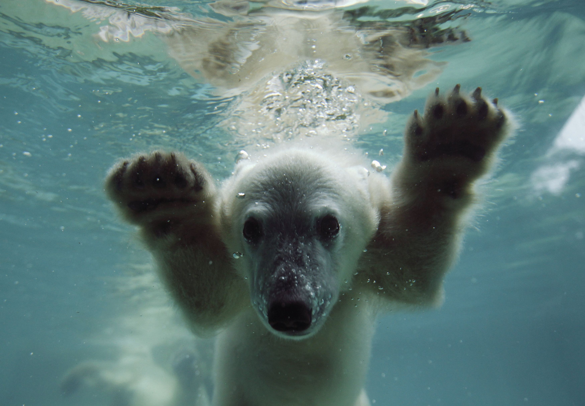 June 6 Photo Brief: Polar bear Anori, mud bath, bee sting therapy and a new view of Venus