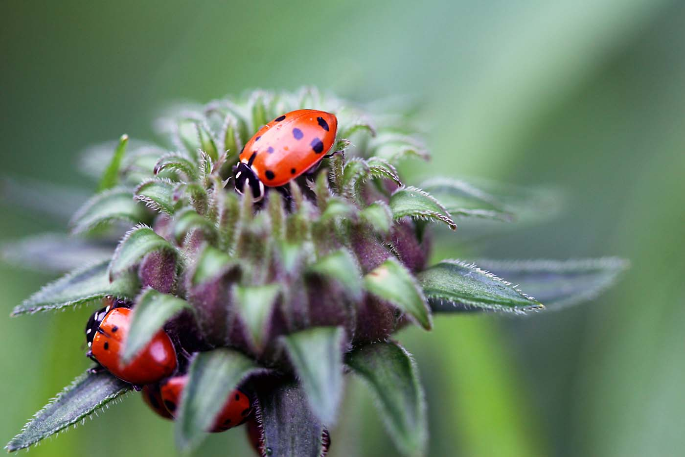 Ladybugs purchased online hang out on a flower in a Columbia, Md., garden. (Credit: Judah Kelber)