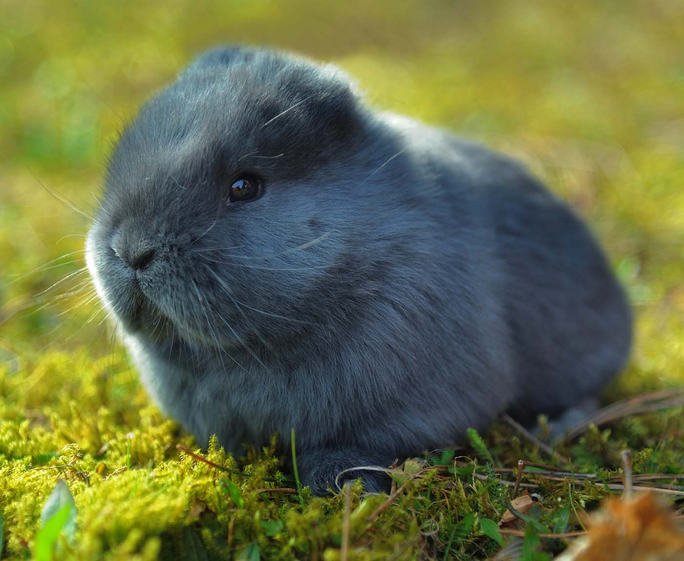 A Four-week-old blue Viennese rabbit with no ears is seen, in Niederdorf, eastern Germany March 2012. (Wolfgang ThiemeAFP/Getty Images)