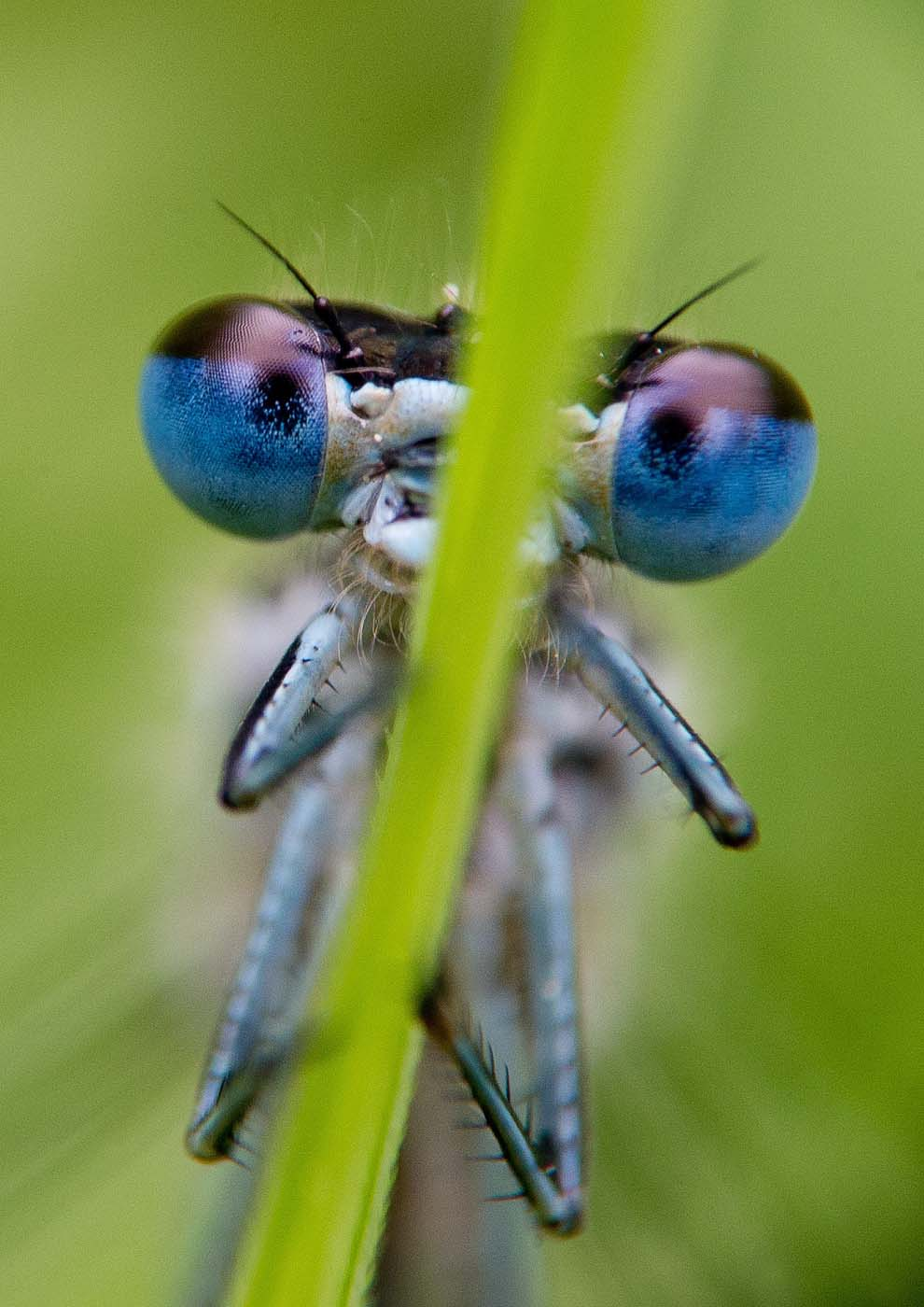 A blue dragonfly (platycnemis pennipes) rests on a reed at the edge of a small lake near Briesen, Germany, on May 13, 2012. (Patrick Pleul/AFP/Getty Images)