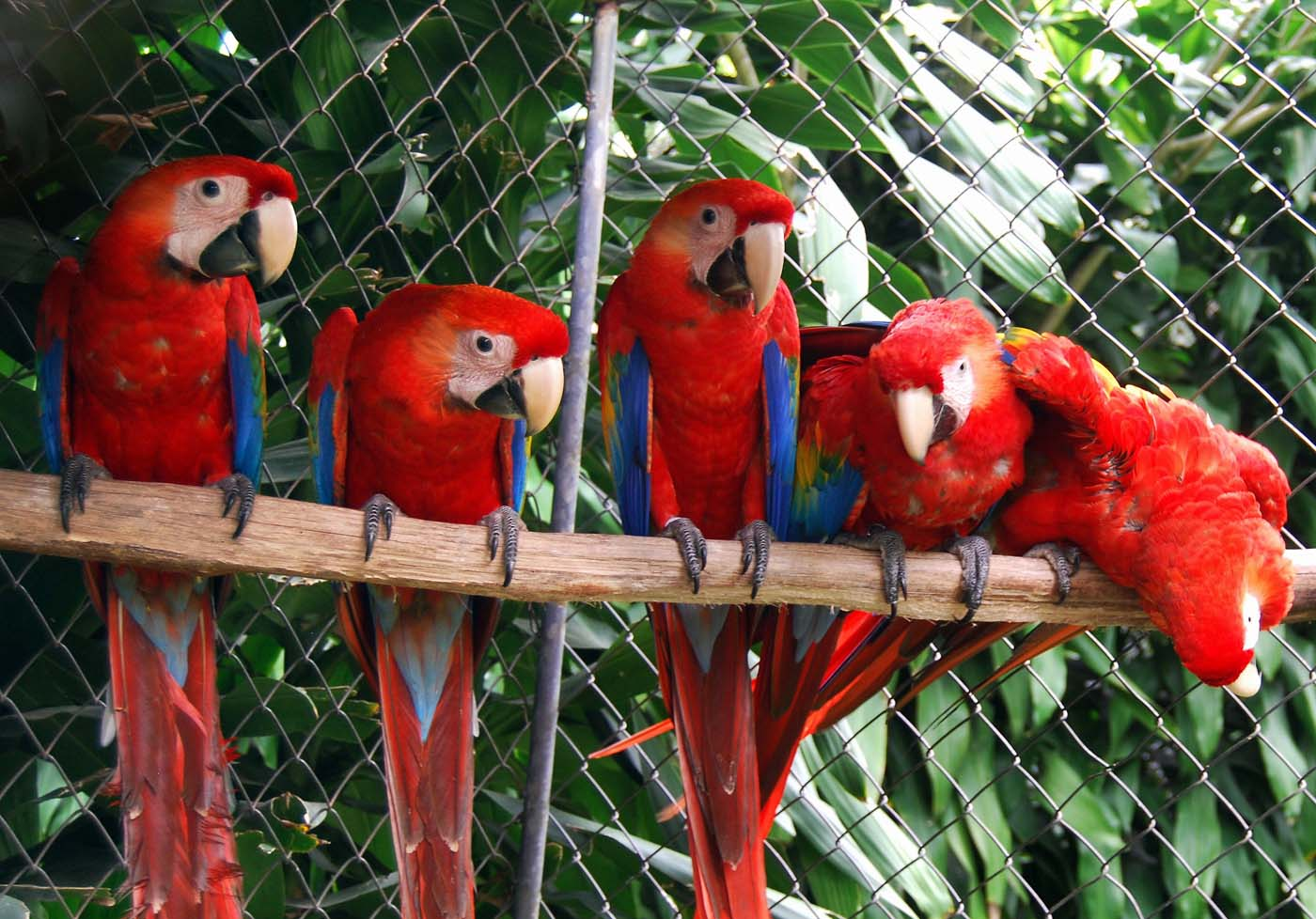 A family of Scarlet Macaws (Ara Macao) perch on a branch on June 27, 2008 at the Zoo Ave, in La Garita de Alajuela some 30 km northwest of San Jose. (Caroline Ventezou/AFP/Getty Images)