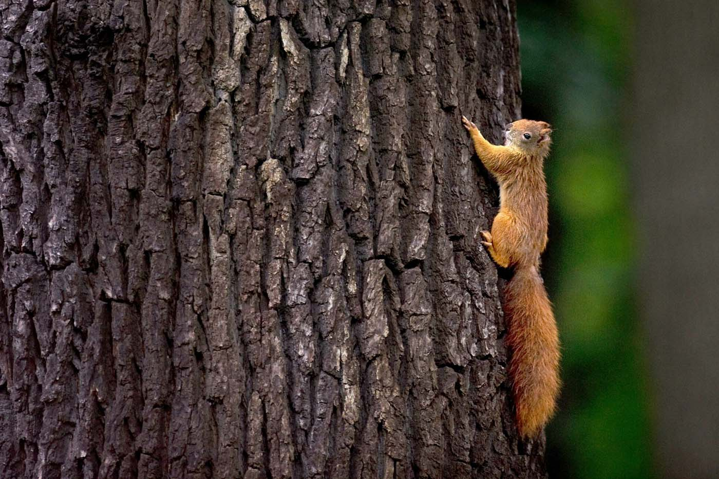 The red squirrel, also called European squirrel, is native to Europe and parts of Asia. (Arno Burgi/AFP/Getty Images)