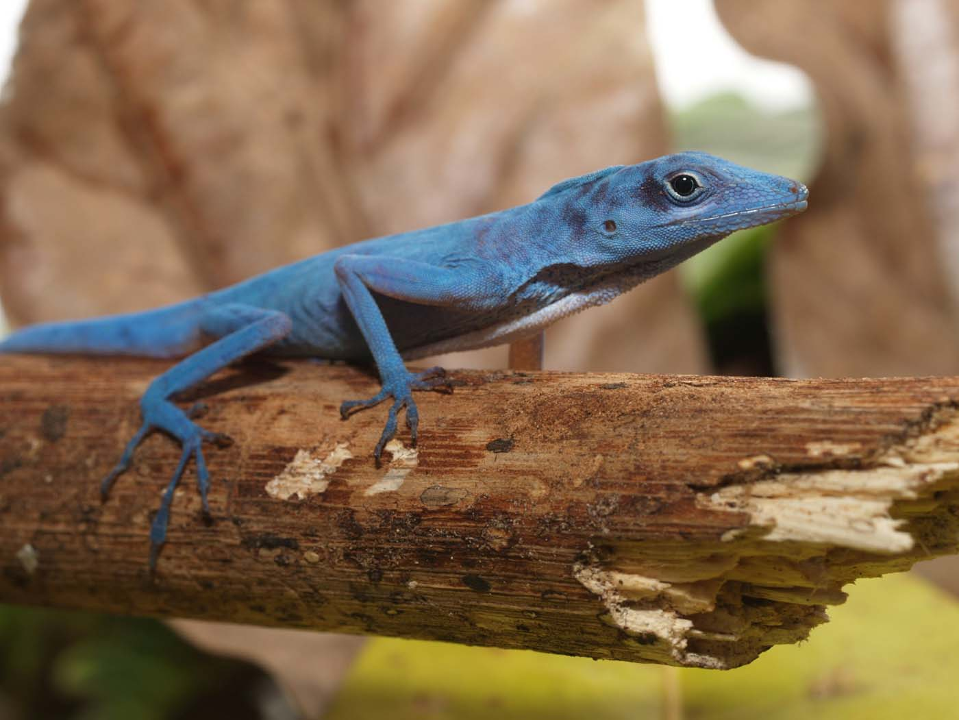 A blue anole (Anolis gorgonae), a highly threatened lizard, is found only on the island of Gorgona, about 50 km off the Colombian Pacific coast. (STR/AFP/Getty Images)