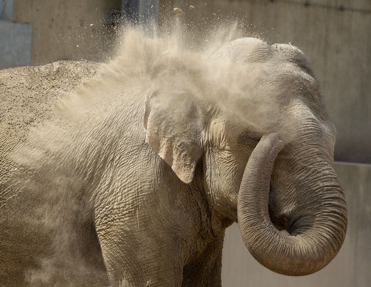 An Asian elephant takes a sand shower at the zoo in Krefeld, western Germany. The sand protects the animals back. (Roland Weihrauch/Getty Images)