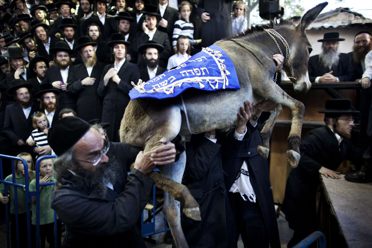 """Ultra-Orthodox Jews of the Hasidic Pinsk-Karlin group carry the ritual baby donkey during the """"Redemption of the First Born Donkey"""" or in Hebrew """"Pidyon Peter Chamor"""" ceremony in a neighborhood near the religious Mea Shearim area of Jerusalem. The tradition of the """"Redemption of the First Born Donkey"""" is part of the 613 laws commemorated in the Jewish Bible. (Menahem Kahana/Getty Images)"""