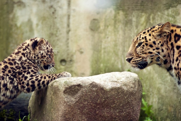 """Argoun"" (L), a three-month-old Amur leopard (Panthera pardus orientalis) is pictured with its mother, ""Elixa"" (R), during its first time out at the zoo in Mulhouse, eastern France. Amur leopards population is estimated to about fifty in nature around the world. (Sebatien Bozon/GettyImages)"