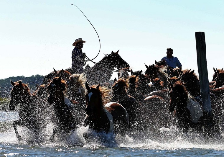 Wild ponies are herded into the Assateague Channel to for their annual swim to Chincoteague Island, on July 25, 2012 in Chincoteague, Virginia. Every year the wild ponies are rounded up to be auctioned off by the Chincoteague Volunteer Fire Company. (Mark Wilson/Getty Images)