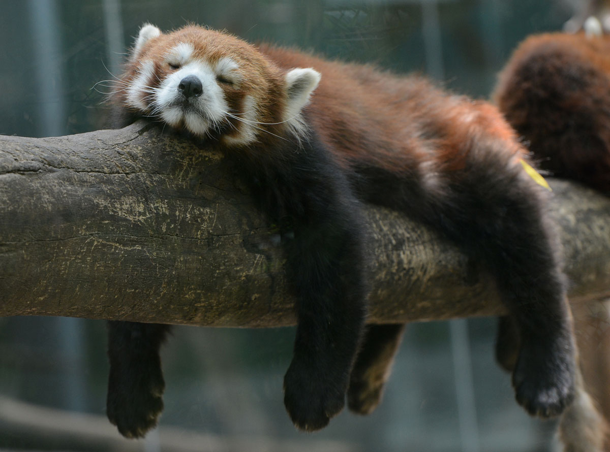 A Red Panda Bear sleeps in the Panda Bear enclosure at the Beijing Zoo on May 22, 2012. (Mark Ralston/AFP/Getty Images)