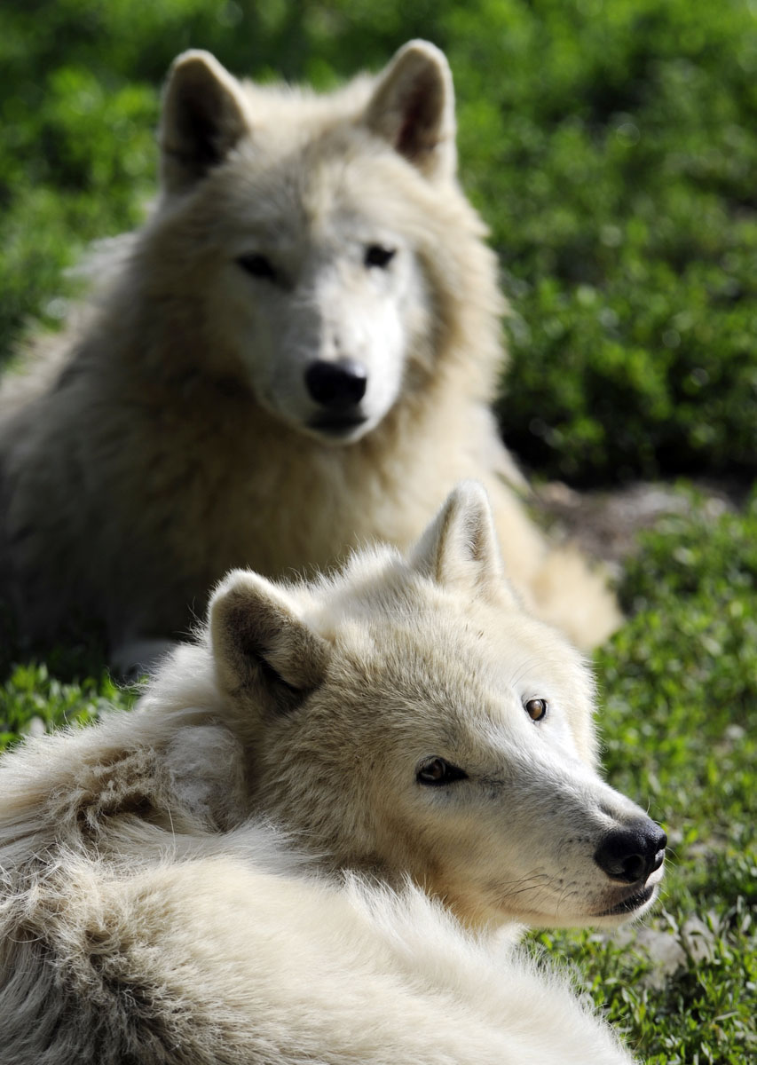 Arctic white wolves are pictured in the zoo in Amneville, eastern France. (Jean-Christophe Verhaegen/AFP/Getty Images)
