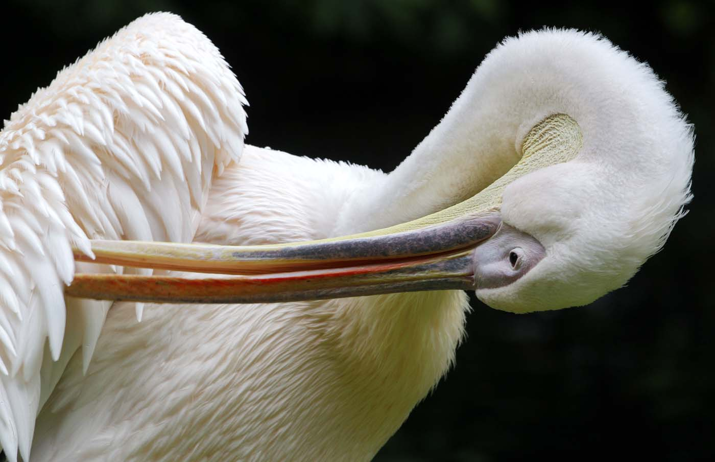 A Great White Pelican cleans his coat at the zoo in Krefeld, western Germany, on June 25, 2012. The Great White Pelican is mostly found in Vietnam and South Africa. (Roland Weihrauch/AFP/Getty Images)