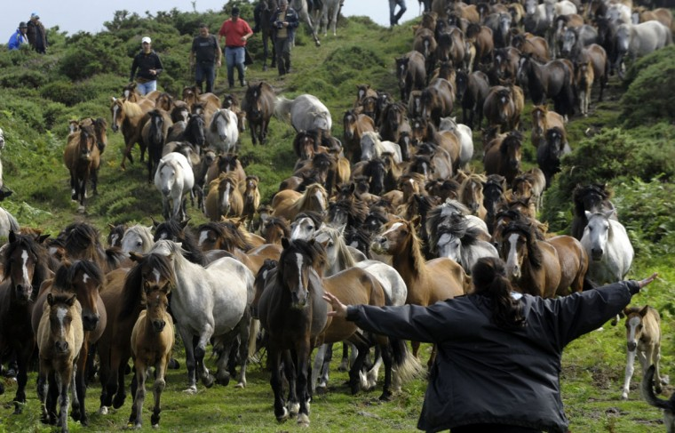 """Villagers round up wild horses on the hills of Sabucedo, some 40 kilometres from Santiago de Compostela, northwestern Spain, on July 6, 2012, during the 400-year-old horse festival called """"Rapa das bestas"""" (Shearing of the Beasts) to be trimmed and marked. (Miguel Riopa/AFP/Getty Images)"""
