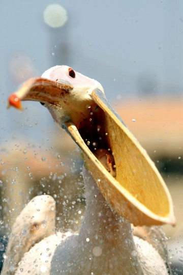"""A pelican, which was named """"Mahrouma"""", meaning deprived in Arabic, by Lebanese fisherman, Abed Ibrik, waits to be fed in the Lebanese port city of Sidon. Ibrik rescued Mahrouma four years ago after she was shot in the wing while flying over Sidon and he now feeds her every other day and considers her as part of the family. (Mahmoud Zayyat/AFP/Getty Images)"""