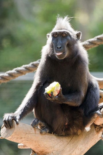 A macaca nigra eats a frozen fruit handed by zoo keepers at the Israeli zoo of Ramat Gan, north of the Mediterranean coastal city of Tel Aviv, as temperatures reached 34 degrees Celsius (Jack Guez/Getty Images)