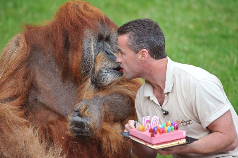 Sebastien Laurent (R), manager of the zoo, gives, mouth to mouth, a slice of cake to Major, the holdest captive Orang-Outang in the world, as part of its 50th birthday ceremony at the La Boissiere-du-Doree zoo near Nantes, western France. (Alain Jocard/Getty Images)