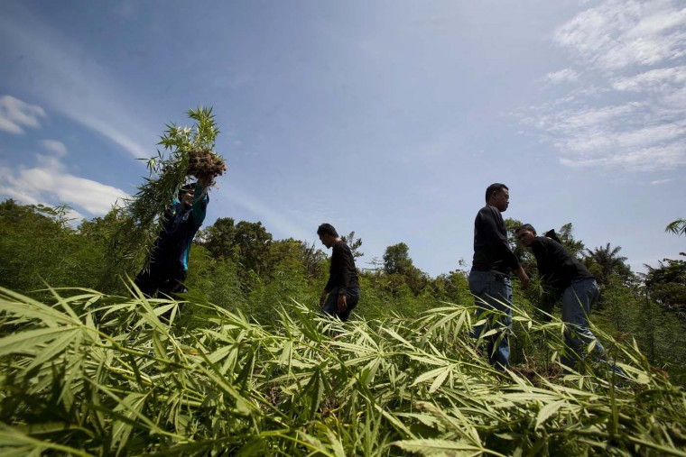 A police officer prepares to destory seized marijuana plants in Aceh Besar, Aceh province on July 18, 2012. According to Aceh police, 158 hectares worth of marijuana plants have so far been seized during 2012. (Chaideer Mahyuddin/AFP/Getty Images)