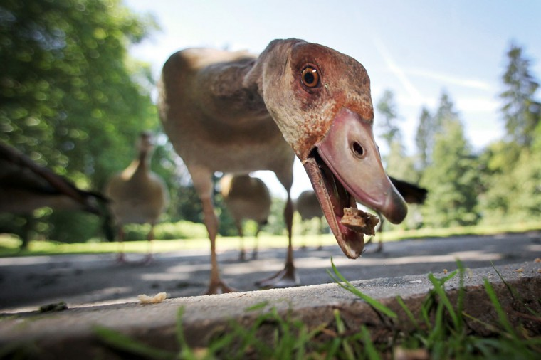 An Egyptian Goose eats a breadcrumb at the spa gardens in Bad Schwalbach, western Germany. Meteorologists forecast sunny weather for the upcoming days in Germany. (Fredrik von Erichsen/AFP/Getty Images)