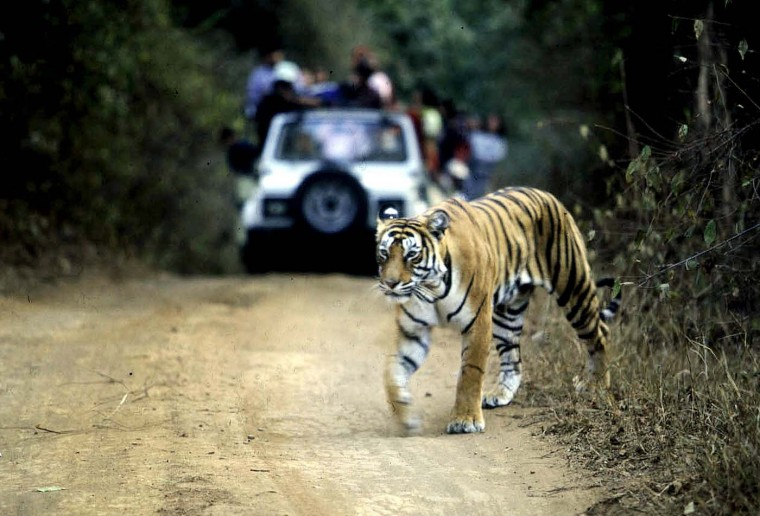 India's top court has suspended tourism in core areas of tiger reserves as the country struggles to stem the dwindling numbers of the endangered wild cats, a lawyer said July 25, 2012. File picture taken on January 22, 2002 shows a tiger crossing a road in the Ranthambore National Park in India's northwestern Rajasthan state. (Photoaditya Singh/AFP/Getty Images)
