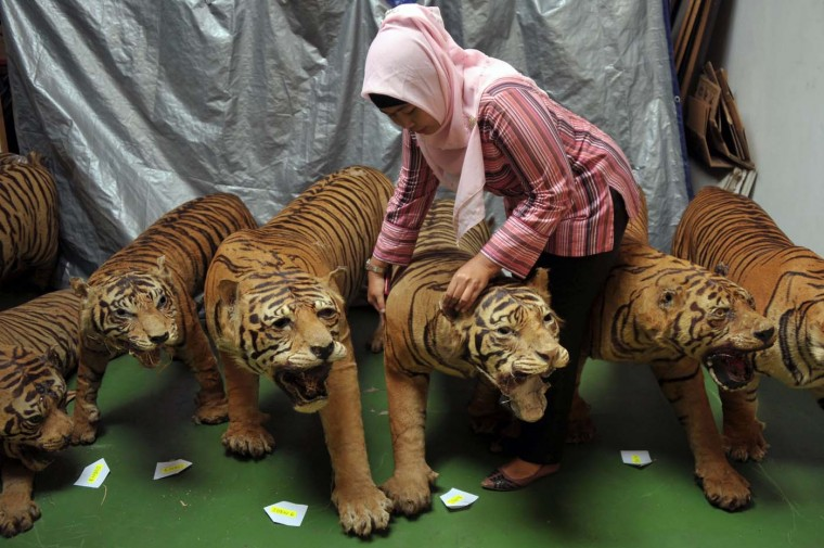This photo taken on July 25, 2012 shows a member of the Indonesian national police and the special crime unit inspecting one of 14 seized preserved bodies of critically-endangered Sumatran tigers at a warehouse in Cibubur, south of Jakarta. (Bay Ismoyo/AFP/Getty Images)