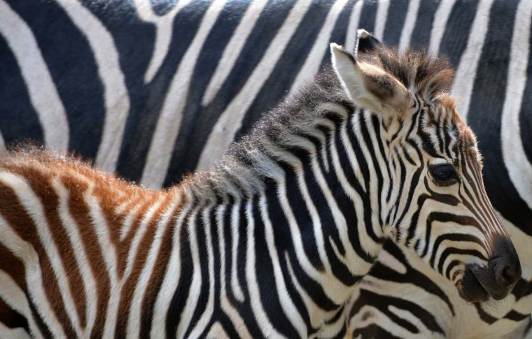A young zebra walks beside its mother in their enclosure at the Zoologischer Garten zoo in Berlin on July 31, 2012. In the wild, zebras live in central and southern parts of Africa. (Christof Stache/AFP/Getty Images)