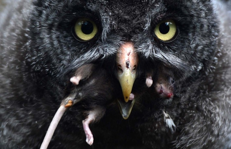 A young great grey owl enjoys a mouse in the owls' enclosure at the Zoologischer Garten zoo in Berlin on July 31, 2012. Five female great grey owls hatched at the zoo on May 18, 2012. The great grey owl chicks, their parents and conspecifics living at the zoo eat up to 30 mouses every day. In the wild, the animals live in the Northern Hemisphere and have lemmings and voles on their menu. (Christof Stache/AFP/Getty Images)