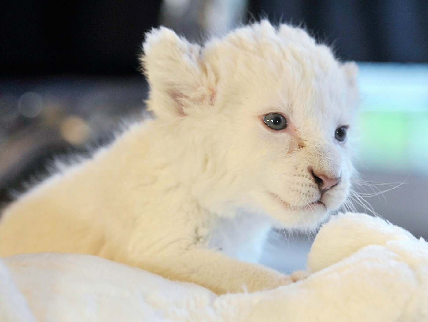 One of four baby white lions is presented to journalists at a Safari park in the western German city of Schloss Holte-Stukenbrock on May 6, 2010. The baby lions were born in the park in March and are being raised by the zoo keepers there. (Mark Keppler/AFP/Getty Images)