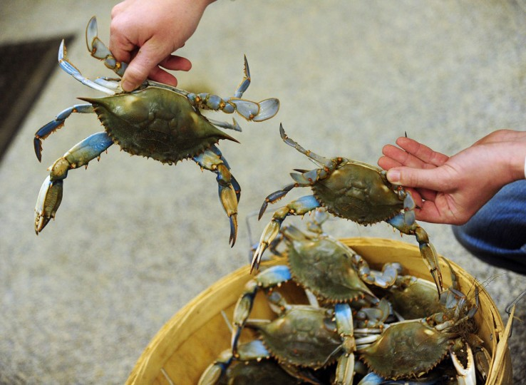 APRIL 22: Jesse Lowers, of Lowers Crab Shack in Essex, shows a large and small Maryland blue crab that he received in a small shipment. Jesse said the temperatures are still a bit cold for a good harvest, but the summer holds great promise. (Gene Sweeney Jr./Baltimore Sun)