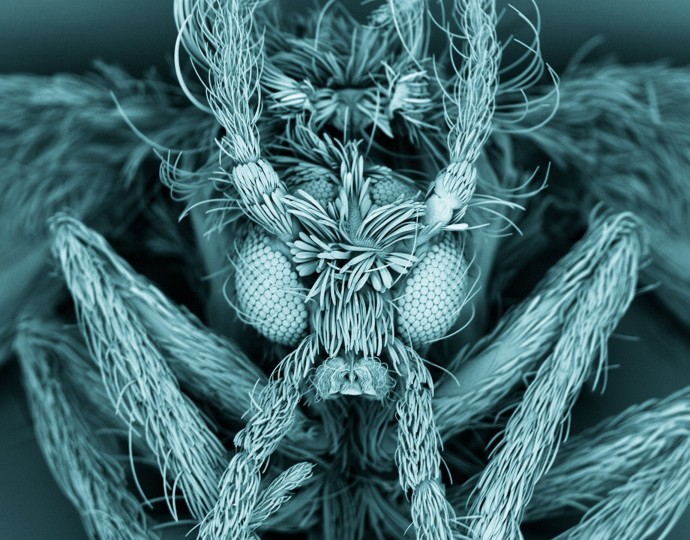 This false-coloured scanning electron micrograph (SEM) shows a moth fly (Psychodidae), also known as a drain fly. As its name suggests, the fly's larvae commonly live and grow in domestic drains: the adult fly emerges near sinks, baths and lavatories. The moth flies' body and wings are covered in hairs, which gives them a 'fuzzy', moth-like appearance. The fly is 4–5 mm long, and each eye is approximately 100 microns wide. (Photo by Kevin MacKenzie, University of Aberdeen/Wellcome Images)