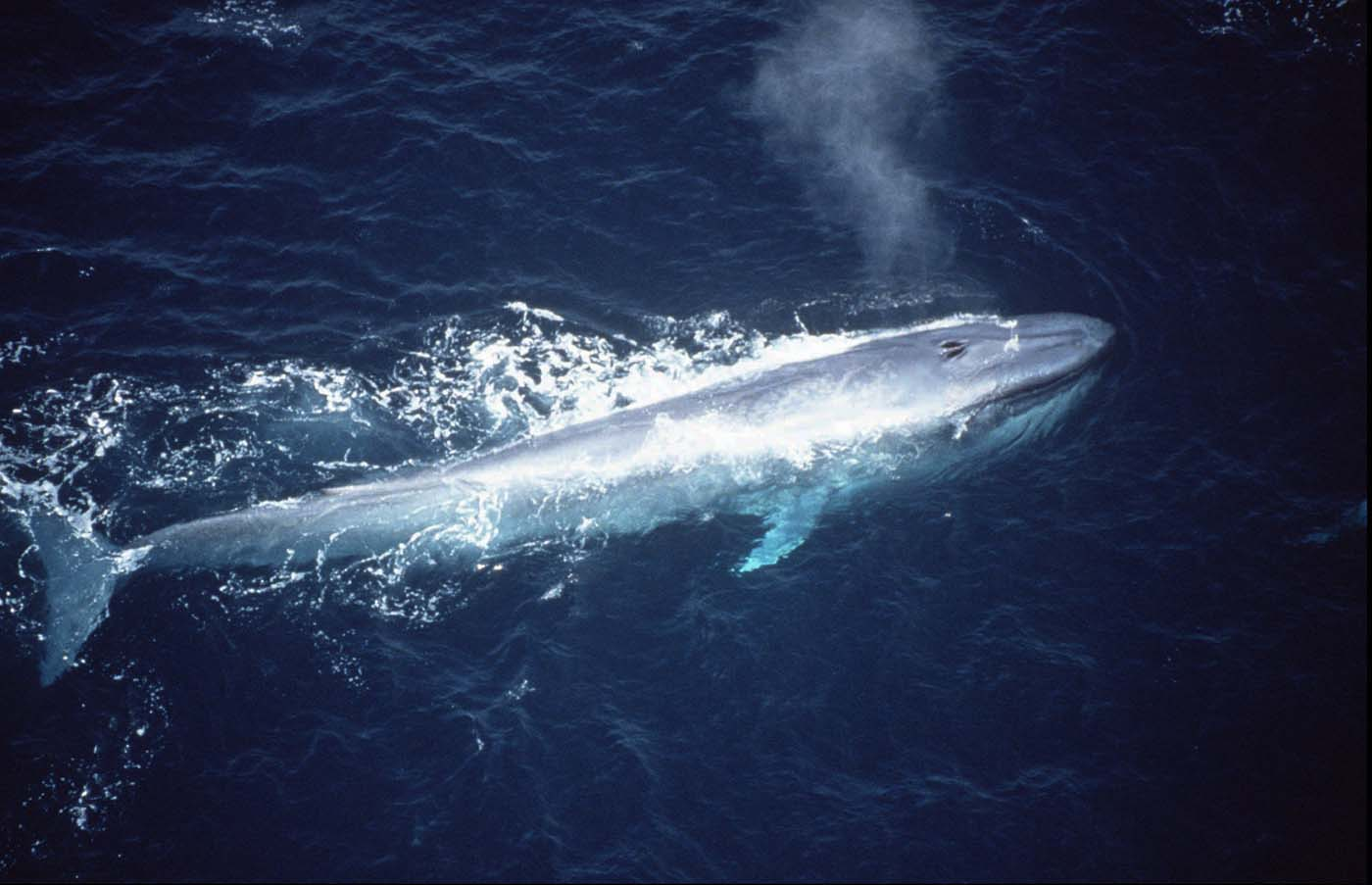 They're over 100 feet long, weigh more than 150 tons, and are surprisingly mysterious and difficult to observe, considering their gigantic size: blue whales. (ABC Television Network)