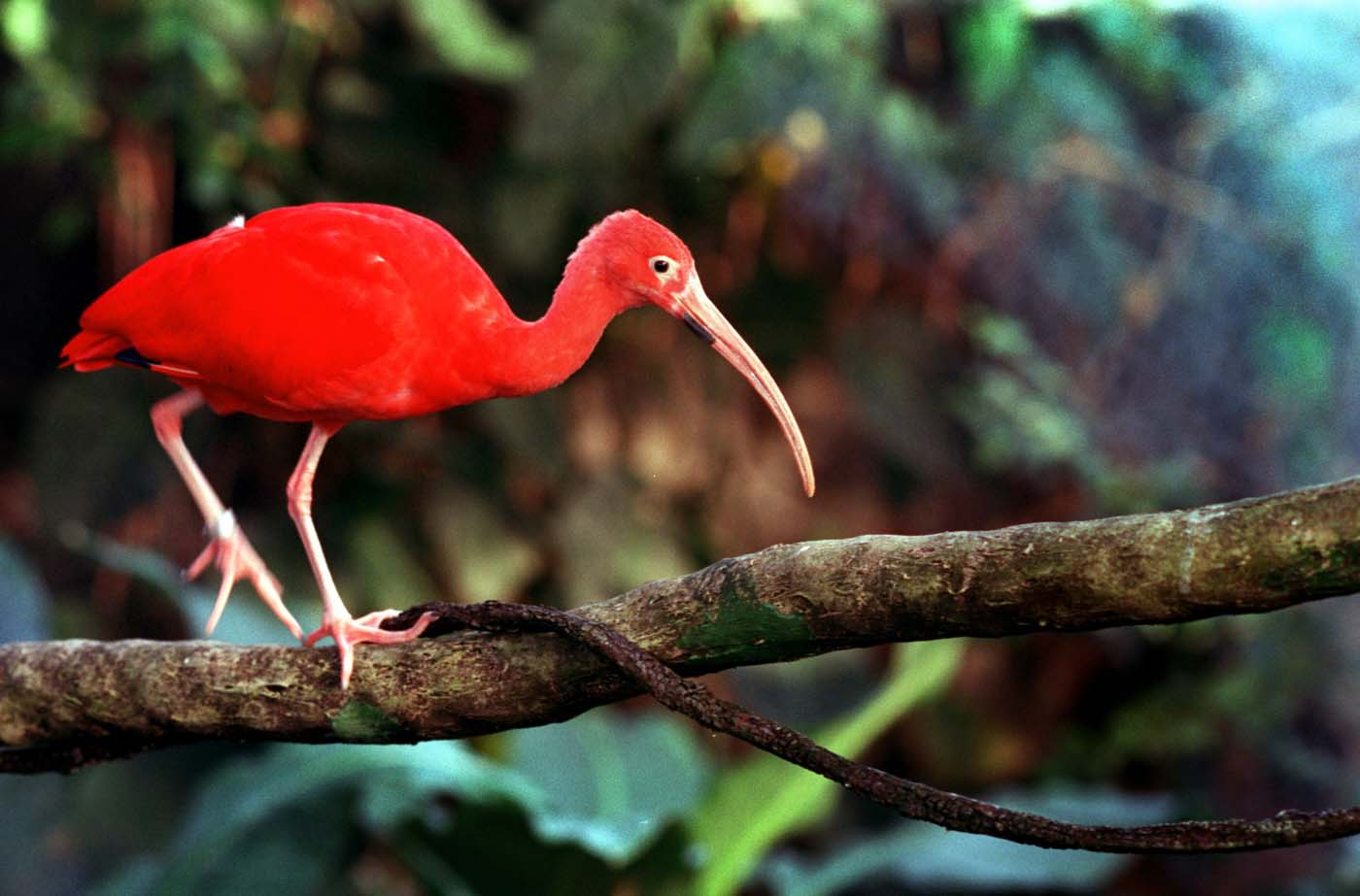 A Scarlet Ibis, which came from Venezuela, at the rain forest at the National Aquarium. (Amy Davis/Baltimore Sun)