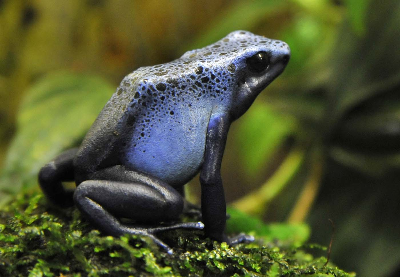 A Sky Blue Azureus poison dart frog. (Amy Davis/Baltimore Sun)