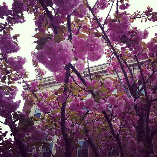 A tree with purple blossoms blooms in early spring in downtown Baltimore, March 30, 2012. The filter brought out the purple in the blossoms.