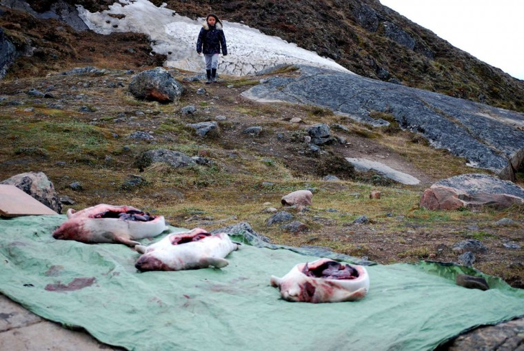 Seals are set out for skinning and distribution to the town as the people Iqaluit, Canada, hold their annual Celebration of the Seal. (Kim Murphy/Los Angeles Times/MCT)