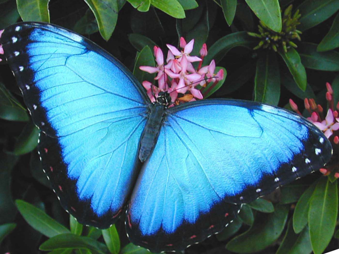 [The Blue Morpho Peleidis butter fly, which is Alas de Colombia's most popular. (Credit: Alas de Colombia)