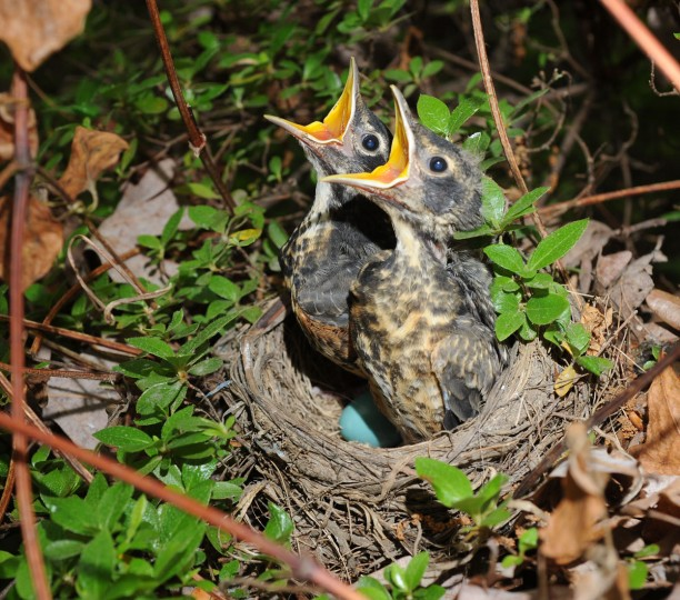 MAY 24: Robin nestlings eagerly wait for a meal while sitting in their nest in an azalea bush in Towson. (Jerry Jackson/Baltimore Sun)