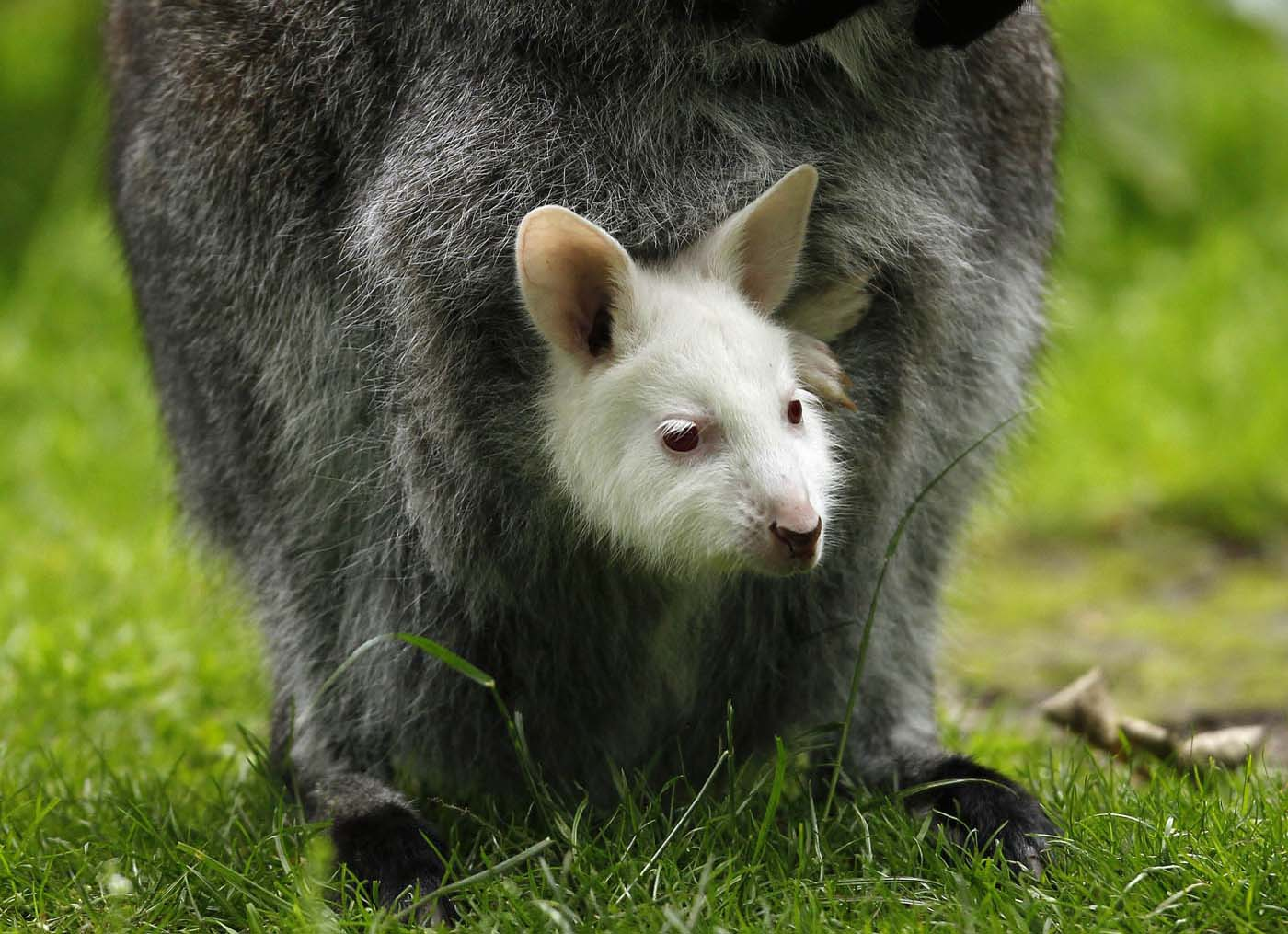 An albino baby Bennett's wallaby is carried by his mother in their enclosure at the zoo in Duisburg June 22, 2012. (Ina Fassbender/Reuters)