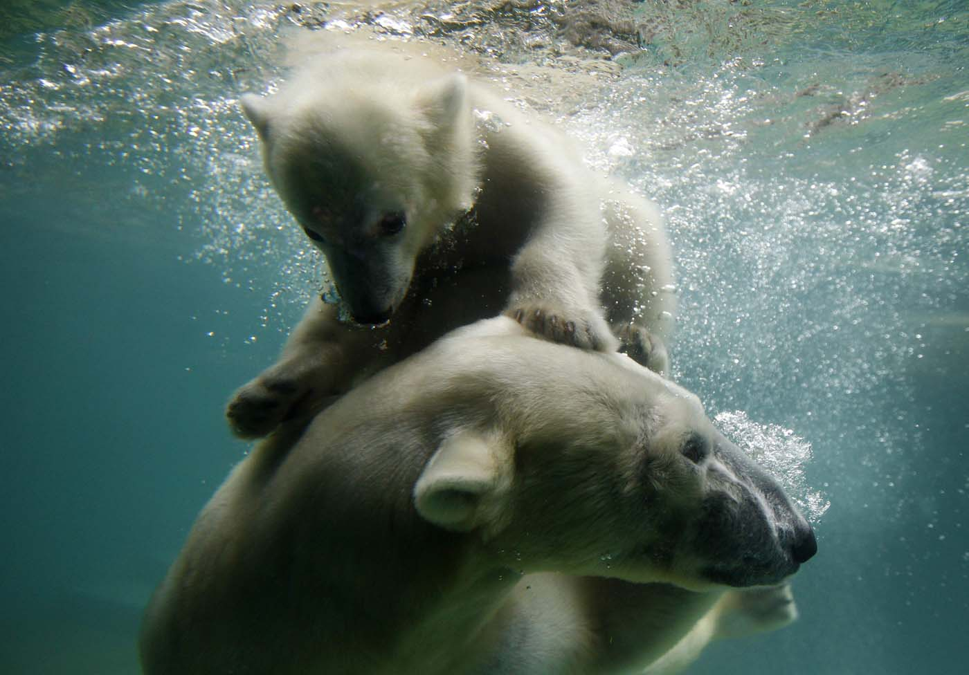 Polar bear cub Anori swims with her mother Vilma in their enclosure at the zoo in Wuppertal June 6, 2012. Anori was born on January 4, 2012. (Ina Fassbender/Reuters)
