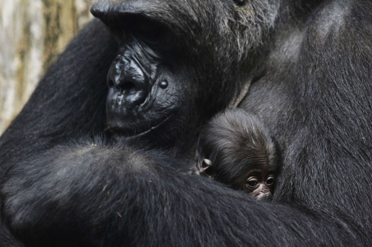 A three-days-old gorilla baby lies in the arm of its mother Rebecca at the zoo in Frankfurt, Germany. (Alex Domanski/Reuters)