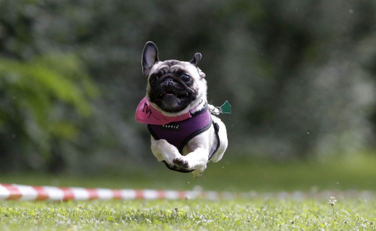 A pug competes in a race during the third international pug dog meeting in Berlin. Owners took part with around 150 pugs in this meeting organized by a local dog association in the German capital. (Tobias Schwarz/Reuters)