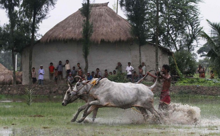 A farmer with his bulls takes part in the 21st Bull Race at a paddy field in Canning village, in the eastern Indian state of West Bengal July 29, 2012. (Rupak De Chowdhuri/Reuters)