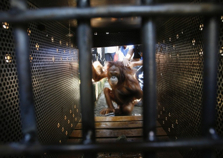 A female orangutan gets into a cage after being rescued from a resident's home in Pasuruan, East Java. A male and female orangutan has been rescued by policemen and environmental activists, where they have been moved to a wildlife rehabilitation prior to their eventual release back into the wild in Kalimantan. (Sigit Pamungkas/Reuters)