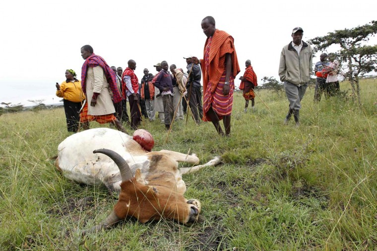 Maasai tribesmen look at their cow, which was killed during an elephant attack, in the Kisaju area of Kitengela, on the outskirts of Kenya's capital Nairobi July 18, 2012. About five rogue elephants, which locals suspect to be from the Amboseli national park, 188 miles southeast of Nairobi. (Thomas Mukoya/Reuters)