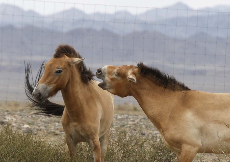 Przewalski horses interact with each other in an acclimatization enclosure after arriving at Takhin Tal National Park in south-west Mongolia, July 18, 2012. The Prague Zoo transported four Przewalski horses to Mongolia as part of its efforts to reintroduce the endangered species into its native environment. (Petr Josek/Reuters)