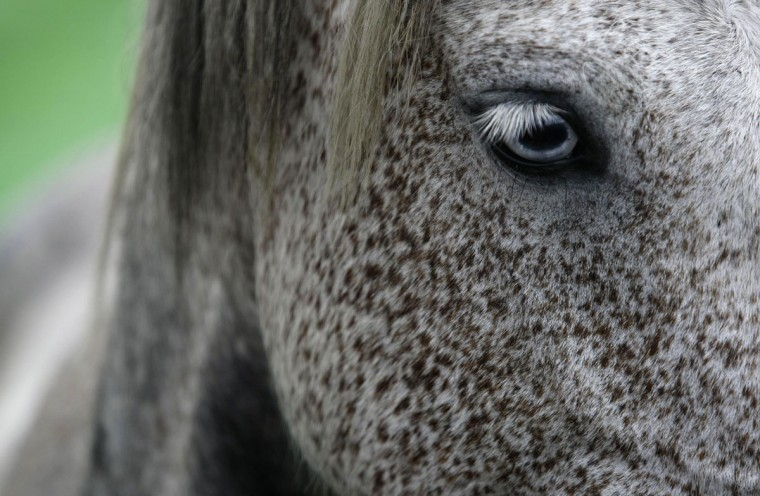 A wild horse is seen during the Rapa das Bestas traditional event in the Spanish northwestern village of Sabucedo July 6, 2012. (Miguel Vidal/Reuters)