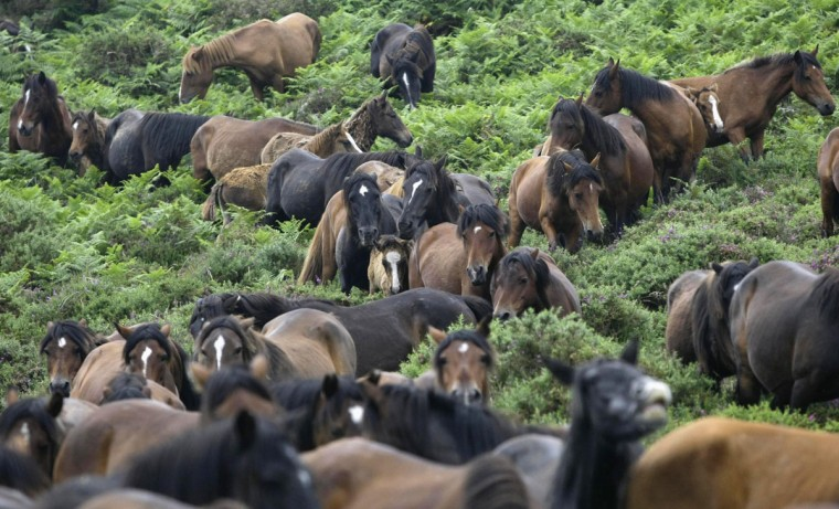 Horses are pictured during the Rapa das Bestas traditional event in the Spanish northwestern village of Sabucedo July 6, 2012. (Miguel Vidal/Reuters)