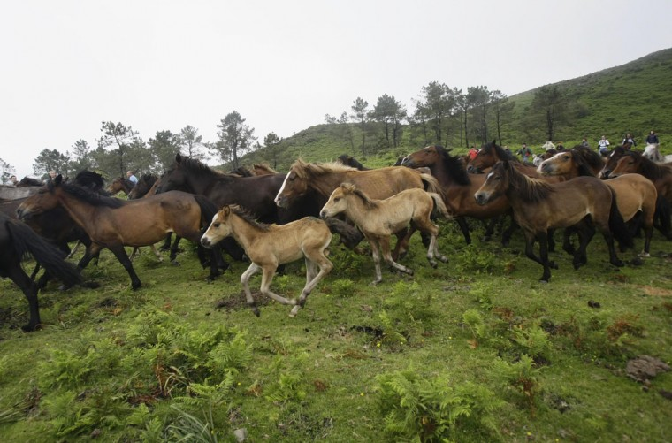 Horses gallop during the Rapa das Bestas traditional event in the Spanish northwestern village of Sabucedo July 6, 2012. (Miguel Vidal/Reuters)