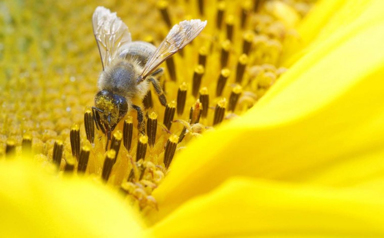 A bee collects nectar from a sunflower on a field near the northern Swiss town Leibstadt July 9, 2012. (Arnd Wiegmann/Reuters)