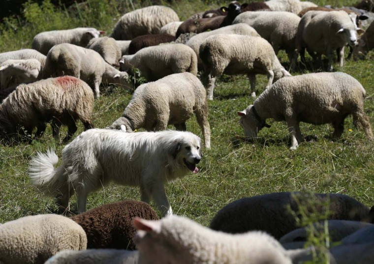 A Great Pyrenees dog surveys a flock of sheep near Les Diablerets July 31, 2012. Great Pyrenees are used to prevent attacks by wolves on their cattle by Swiss farmers. In early 2012, the Swiss Federal Office for Environment counted five wolves have entered the country out of the 70 to 200 that live in France and Italy. (Denis Balibouse/Reuters)