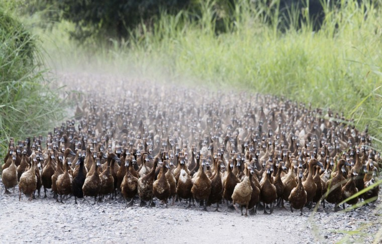 A flock of ducks walk near a paddy field in Nakhonsawan province, north of Bangkok, Thailand. (Chaiwat Subprasom/Reuters)